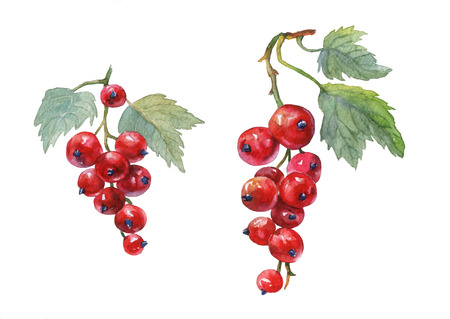 Red currant.  watercolor painting on white background.