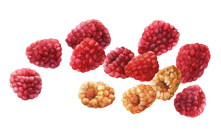 Raspberries.  watercolor painting on white background. Stock Photo
