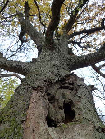 Old oak with a hollow autumn