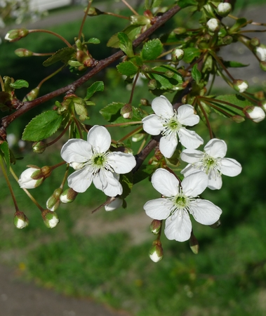 春の晴れた日に桜の木を開花 写真素材 - 61110833