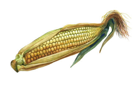 Corn, maize. Hand drawn watercolor painting on white background. Stock Photo