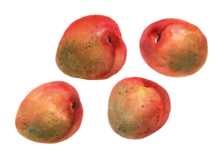 Apricots. Hand drawn watercolor painting on white background.