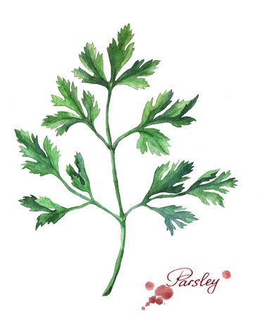 Parsley. Hand drawn watercolor painting on white background.