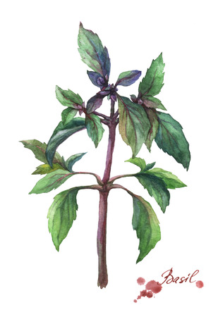 herbaceous: Basil. Hand drawn watercolor painting on white background.