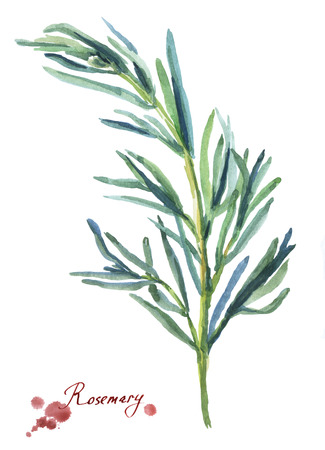 Rosemary. Hand drawn watercolor painting on white background.