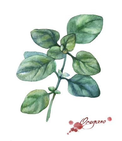 oregano: Oregano. Hand drawn watercolor painting on white background.