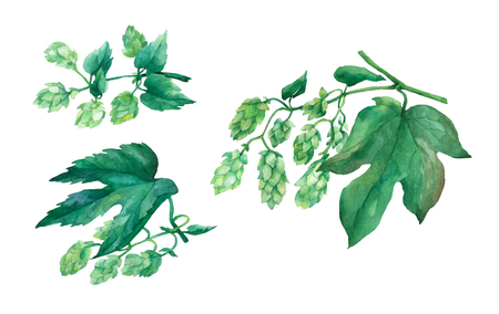 Set branch green hops. Watercolor illustration on white background. Stock Photo