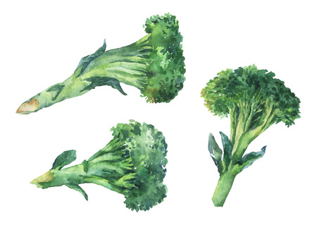 Broccoli. Hand drawn watercolor painting on white background