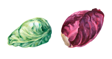 赤と緑のキャベツの頭。手は、白い背景の水彩画を描いた。