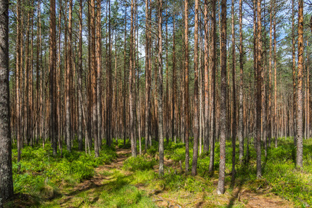 Trails in the sparsely populated forests of the Pskov region.