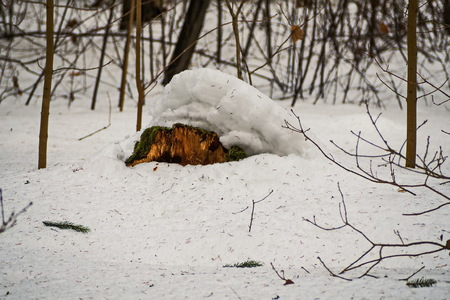 Old lonely mossy stump under the snow. February. Pavlovsk. Park. Фото со стока