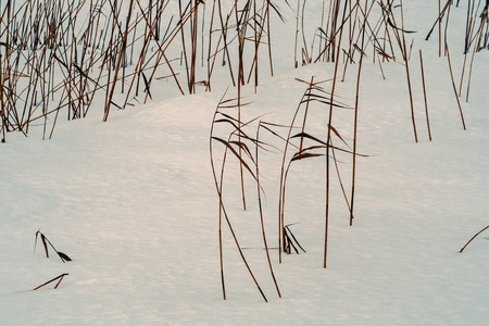 Coastal cane in the snow along the river Slavyanka. February. Pavlovsk.