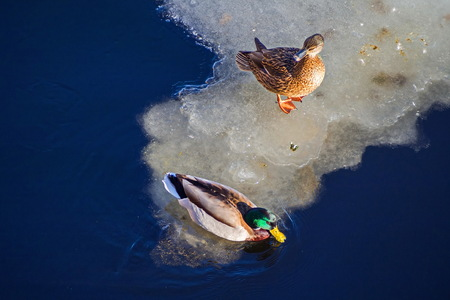 Pair of ducks in the river. Family talk. February in St. Petersburg.