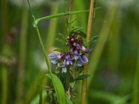 Field flower after rain. Nature of Leningrad region.