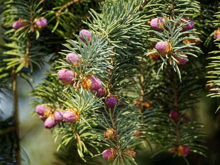Just born small cones on the branches of a coniferous tree. Фото со стока