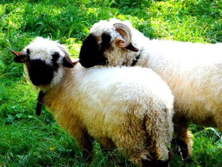 sheeps: Black Face Sheeps