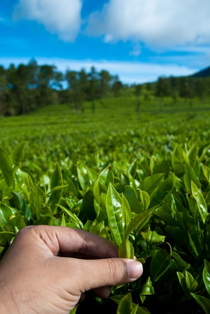 picking tea leaf Stock Photo