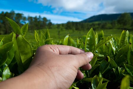 picking tea leaf photo