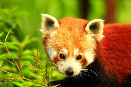gloden: Red Panda Stock Photo