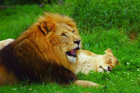 Lioness and Lion Stock Photo - 4028416