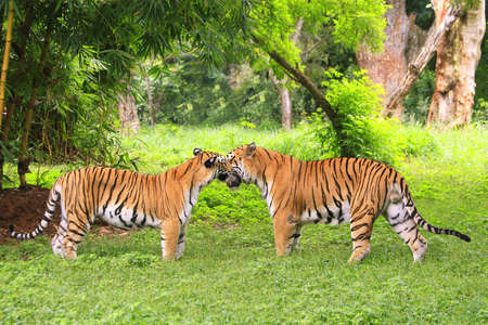 tiger hunting: Tiger Couple