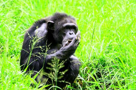 philosophical: Chimpanzee