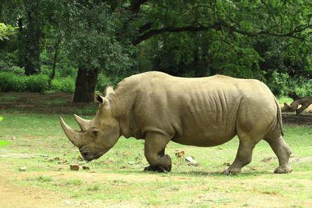 pesantezza: Rhino
