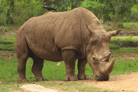 Rhino photo