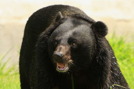 carnivora: Angry Bear Stock Photo