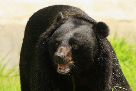 oso negro: Oso enojado