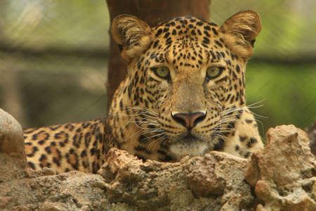 leopard head: Leopard Stock Photo
