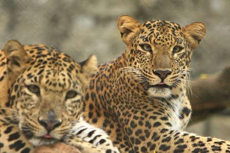 Leopard Couple photo
