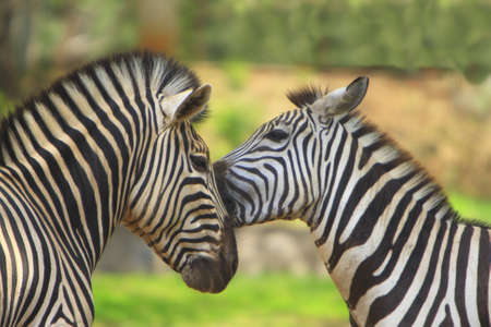 herbivore natural: Zebra Love Stock Photo