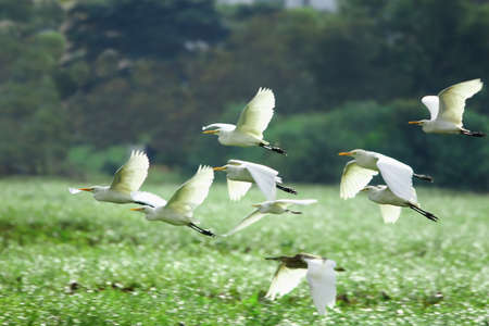 and egrets: Egrets Flying Stock Photo