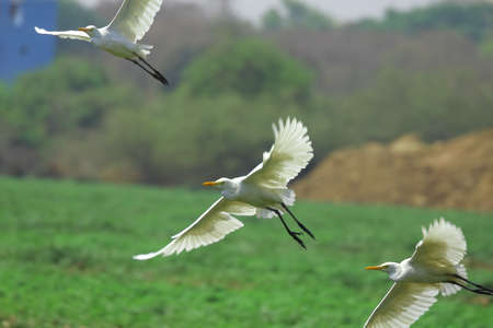 Egret Flying photo