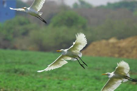 Egret Flying photo