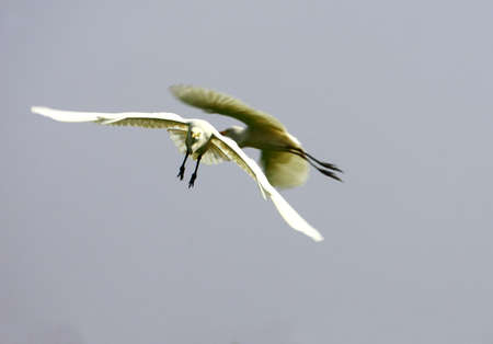 Egret Flying Stock Photo - 4015718