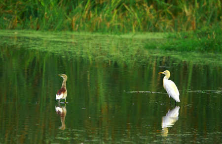 Egret Couple photo