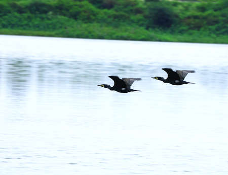 migrating: Cormorant Couple flying