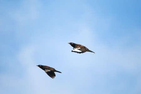 Myna Couple Flying photo