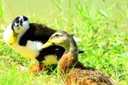 Duck Couple photo