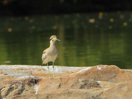 plover: Stone Plover
