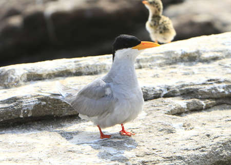 caspian: River tern with Baby
