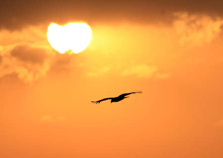 aguilas: �guila volando a la puesta de sol