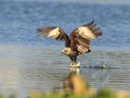 aguila volando: �guila volando