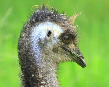 dromaius novaehollandiae: Emu Foto de archivo