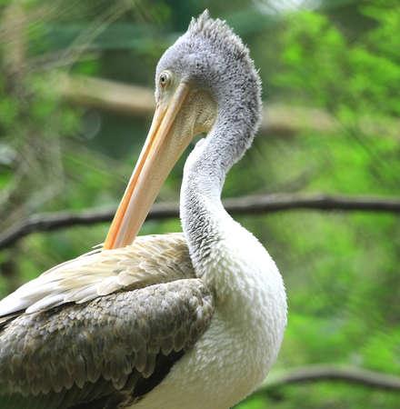 Pelican Stock Photo - 4015814