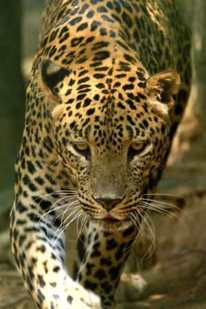 Leopard Stock Photo - 4317665