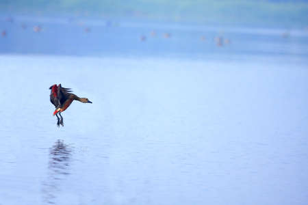 Spot Billed Duck Flying Stock Photo - 4384821