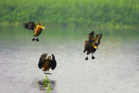 Spot Billed Ducks photo